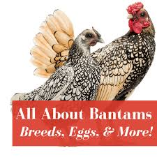 Bantam Chickens Owners Guide Pampered Chicken Mama