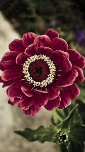 pure nature beautiful galsang flower field iphone 8 wallpaper