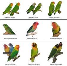 Always Up To Date Love Birds Species Chart 2019