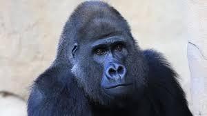 <b>Голова гориллы</b> — Стоковый видеоролик © mcade #35324905