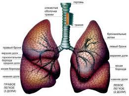 Лёгкие человека особенности строения и функции Строение лёгких человека