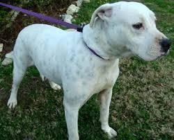 american bulldog pitbull boxer mix. Simple American American BulldogBoxer Mix In AL And Bulldog Pitbull Boxer G