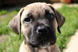 Living With Your Boerboel The First 6 Months My Little