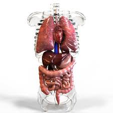 Organs In The Human Body Internal Organs 3d Model