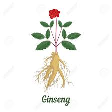 Vector Illustration Of Root And Leaves Panax Ginseng On White