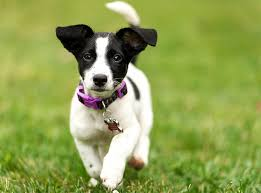 black and white jack russell terrier mix. Delighful Jack Developed In England Some 200 Years Ago To Hunt Foxes The Jack Russell  Terrier Also Known As Parson Is A Lively Independent  To Black And White Terrier Mix L
