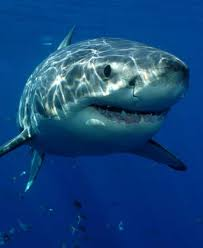 shark facts and information some shark species
