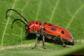 Red Milkweed Beetle – North American Insects & Spiders