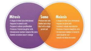 Venn Diagram Comparing Meiosis And Mitosis Mitosis Vs Meiosis Key Differences Chart And Venn Diagram