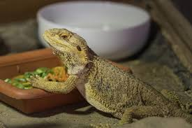 Bearded Dragon Nutrition Chart What Do Bearded Dragons Eat Complete Food Diet Chart