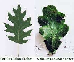 Oak Tree Facts Lesson For Kids Study Com