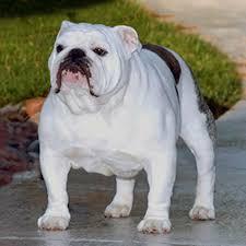 Westminster Dog Show English Bulldog