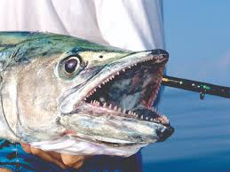 Image result for kingfish