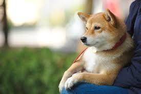 「柴犬」の画像検索結果
