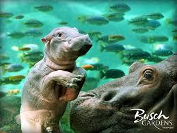 baby hippo at busch gardens