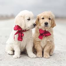 cute golden retriever puppies kissing. Simple Golden Did You Ever See Anything Cuter Than These Adorable Golden Retrievers In Cute Retriever Puppies Kissing E