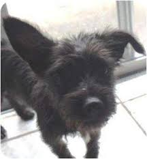 black cairn terrier mix. Delighful Cairn Adopted In Black Cairn Terrier Mix D