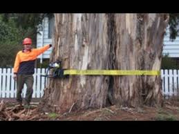 Image result for a big tree being cut by the roadside