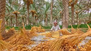 سلطنة عُمان تتزين باللون الأصفر مع قدوم موسم التبسيل وطهي ثمار النخيل - CNN  Arabic