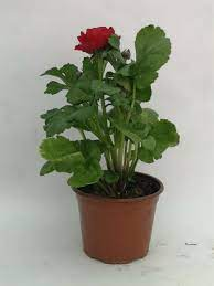 Şakayık Çiçeği Bitkisi Artık Fidancilar.com da