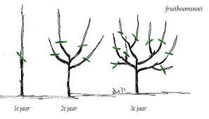 Wanneer fruitbomen snoeien