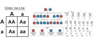 Punnett Squares Karyotypes And Pedigree Charts