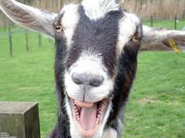 funny goat pictures video jpg