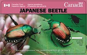 japanese beetles life cycle popillia japonica japanese beetle fact sheet canadian food