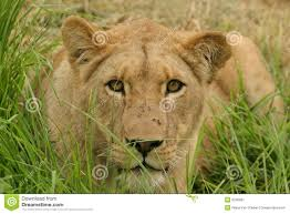 lioness stalking in grass. Perfect Lioness Lioness In Grass With Stalking In Grass N