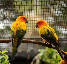 Sun Conure Growth Chart Interesting Facts About Sun Conures