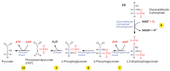 Glycolysis Chart With Enzymes Glycolysis Cellular Respiration Biology Article Khan