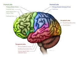 When does the frontal lobe mature
