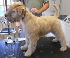 Wheaten Terrier Grooming