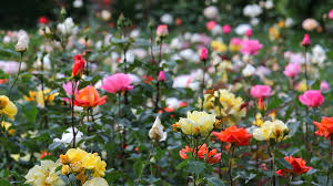 beautiful colored roses red yellow white pink flowers garden park stock footage storyblocks