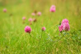 Image result for red clover health benefits