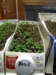 Indoor Kitchen Gardens Recycled Milk Cartons As An Indoor Kitchen Garden Anna Banana