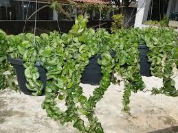 Hoya compacta  Hindu Rope Plant