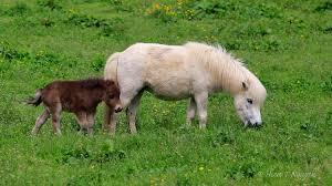baby mini horse.  Horse Miniature Horse And Baby To Baby Mini Horse