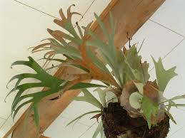 Staghorn Fern Low Light A Trophy For Your Wall Part 1 Staghorn Ferns Platycerium