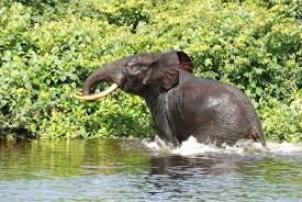 wild animals in african forest. Wonderful African Credit Christiaan Van Der HoevenWWF To Wild Animals In African Forest Z