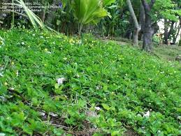 tropical zone gardening decorative leguminous perennial 1 by ground cover plants perth