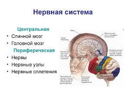 Реферат Строение головного мозга человека ru Головной мозг реферат с картинками