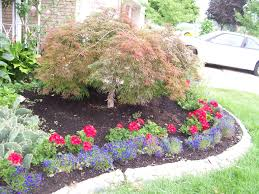 Red geraniums & blue lobelia with japanese maple tree , stone flower bed  border