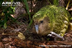 kakapo facts