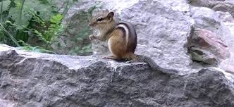 how to keep chipmunks out of garden. Contemporary How Keep Chipmunks Out Of Garden How To Your  Digging Up For S