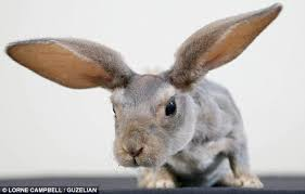 rabbit without fur. Wonderful Fur Debbie Ikin Who Bred The Unusual Looking Rabbit Said He Has Become Part Of Throughout Rabbit Without Fur N