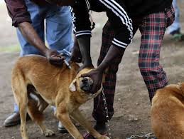 africa s scourge chicago s crusade a domestic dog receives a rabies vaccine during a mass vaccination in bunda tanzania link to this photo
