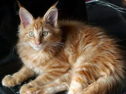 Does Size Matter What Is The Average Weight Of A Maine Coon