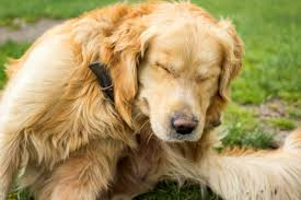 Dry Skin on Dogs: Causes, Symptoms & Treatment