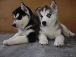 cute and adorable siberian husky puppies for adoption hyderabad